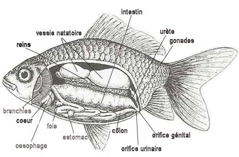 anatomie-interne-du-poisson
