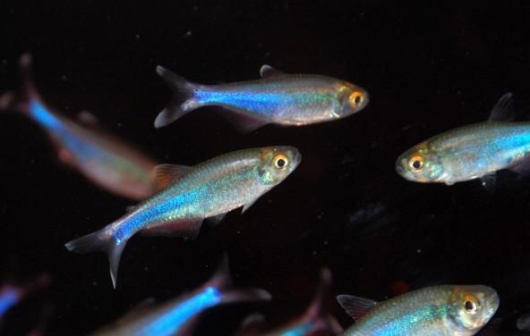 blue-tetra