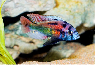 Haplochromis phytophagus