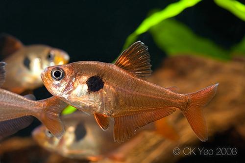 Hyphessobrycon-sweglesi-male
