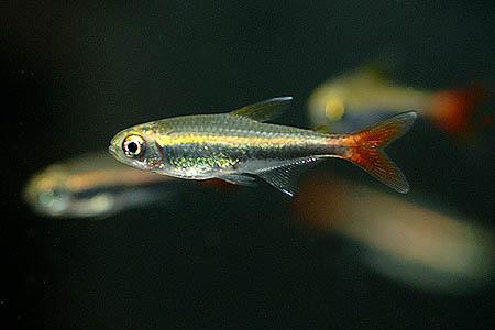 hyphessobrycon_loretoensis