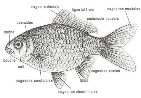 les-nageoires-du-poisson