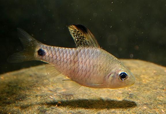 Oreichthys-crenuchoides-male