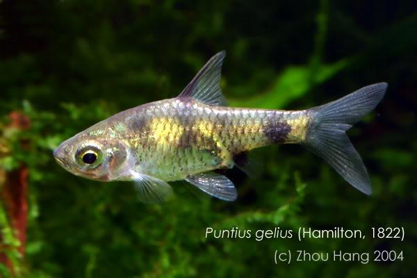Puntius-gelius-ZH