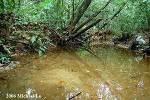 Trigonostigma-heteromorpha-habitat-Mersing-Malaysia