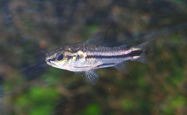 800px-Corydoras_pygmaeus5333