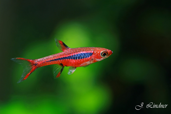 [ARTICLE] Quels poissons mettre dans un Nano-Aquarium  ? - Page 3 Boraras-b
