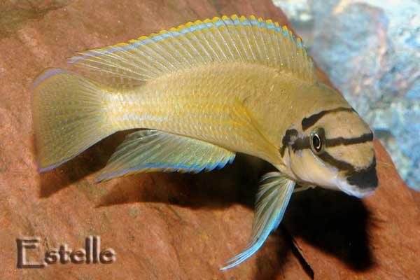 chalinochromis-brichardi-1.jpg