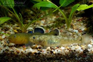 chlamydogobius eremius -couple
