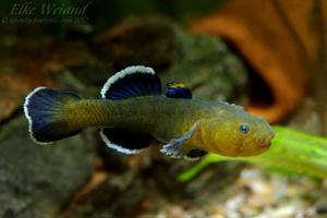 chlamydogobius-eremius-male