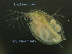 daphnie_pulex