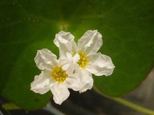 fleur-de-nyphoide-sp.-Taiwan.jpg