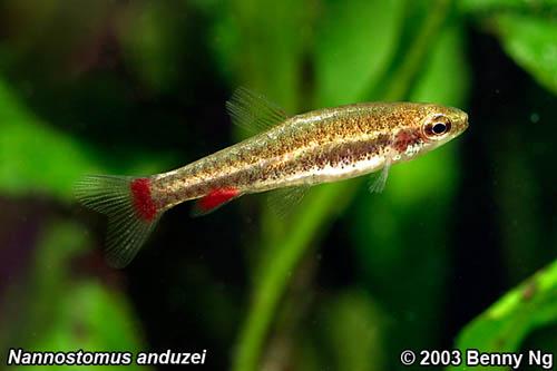 Nannostomus-anduzei1