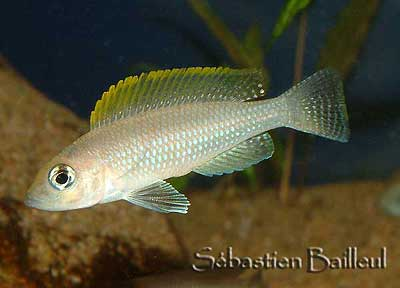neo-caudopunctatus-3-small