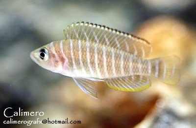 neolamprologus-similis-3