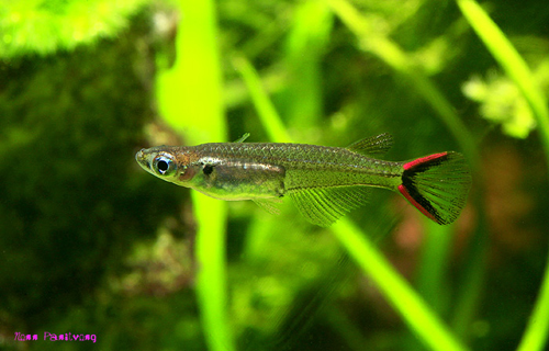 Oryzias-mekongensis
