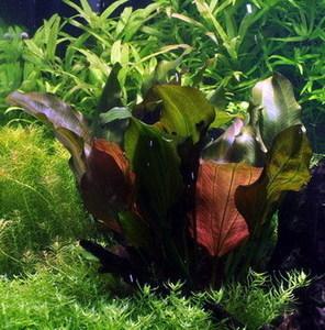 rotala rotundifolia.jpg