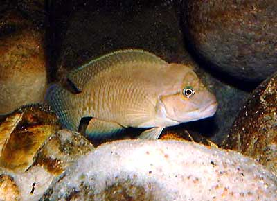 telmatochromis-shell