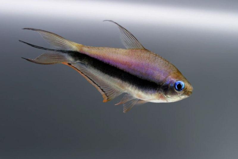Nematobrycon-palmeri-male