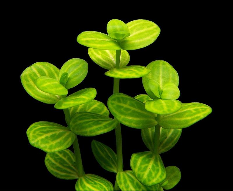 Lrotundifolia1sm