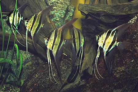 pterophyllum_altum_9