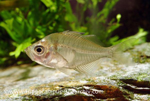 ichthyo,fische,fishes,aquarium,aquaristic,aquaristik, Perciformes,Cichlid,barsche, perches, ,freshwater,s٤wasser,zierfische