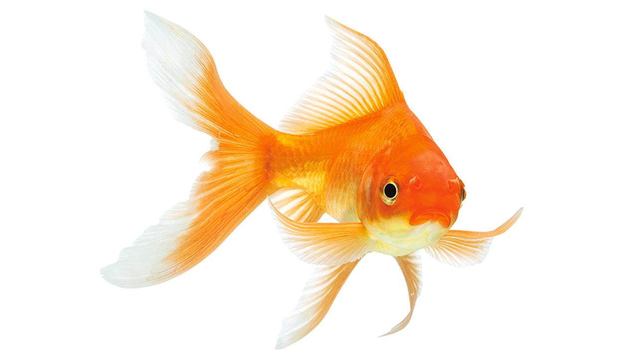 ob_17646a_poisson-rouge
