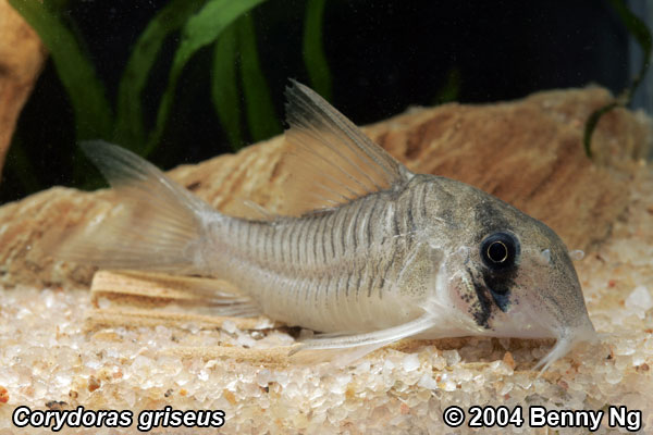 Cory-griseus