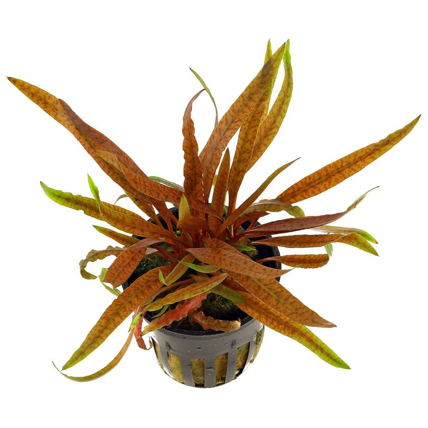 cryptocoryne-albida-brown