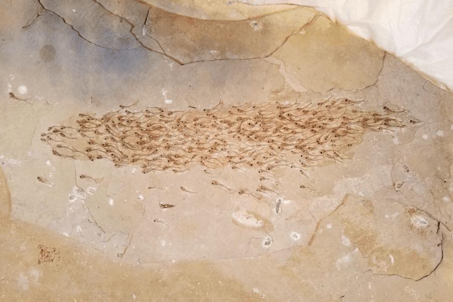 school-of-fish-fossil