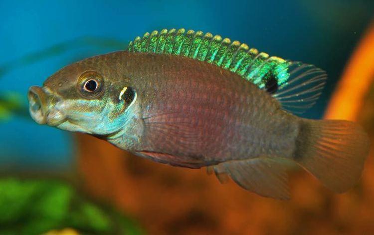 enigmatochromis-lucanusi-172054d8-3a38-4784-968b-17a8a7207fb-resize-750